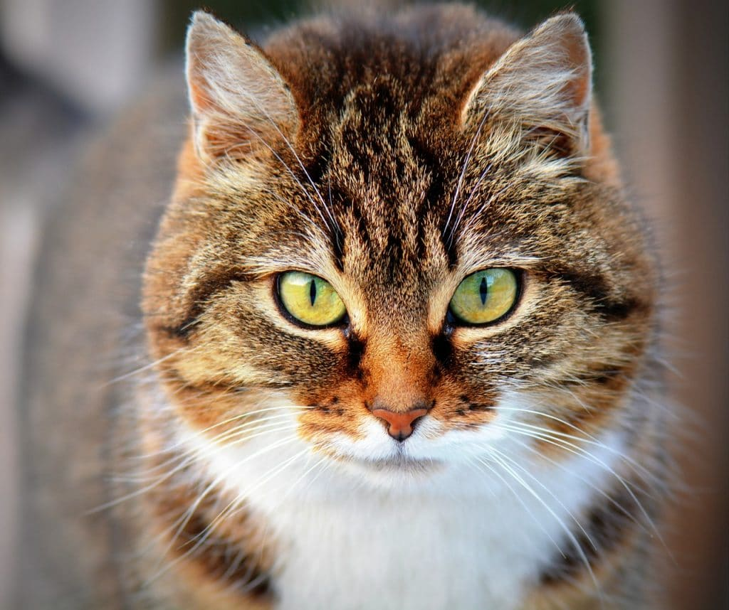 Are Tabby Cats Good Mousers