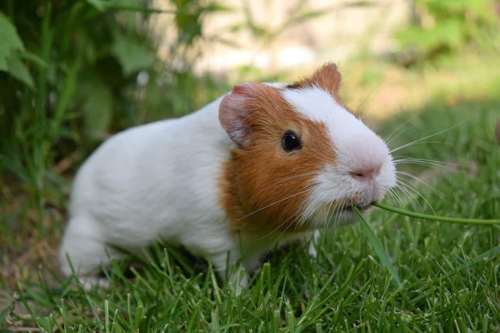 Can Guinea Pigs Eat Fresh Grass