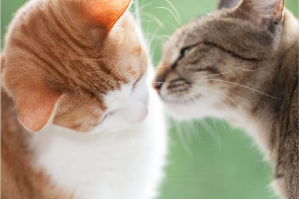 What Do Cats Think When We Kiss Them