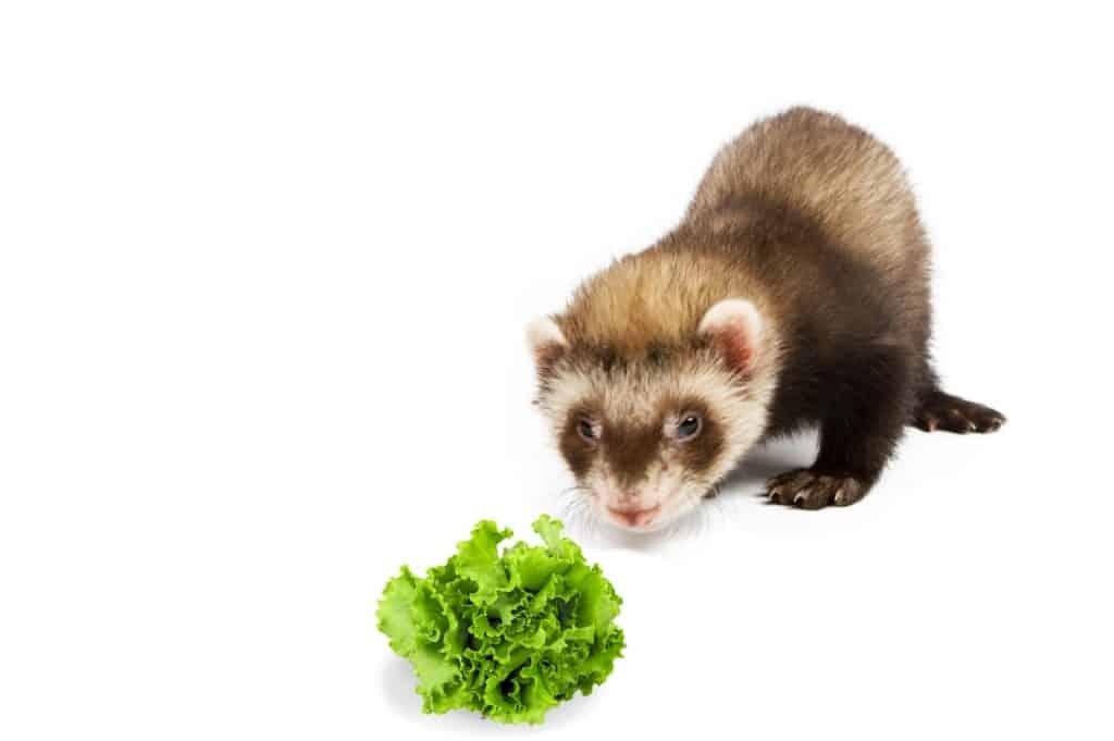 Can Ferrets Eat Lettuce