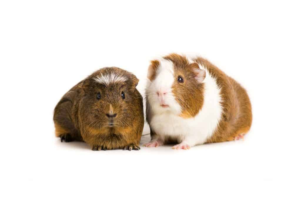 Can Guinea Pigs Kill Each Other