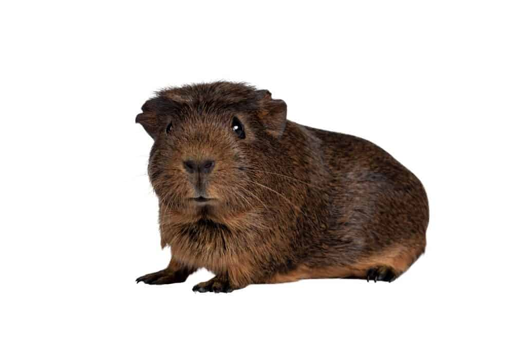 Do Guinea Pigs Have Belly Buttons
