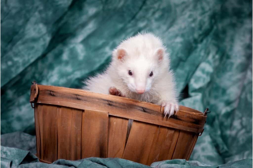 White With Dark Eyes Ferret