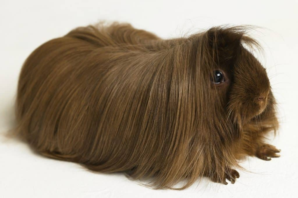 Why Does My Guinea Pig Eat My Hair